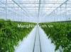 Trồng rau sạch thương mại trong nhà kính