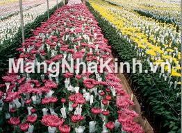 Trồng hoa xuất khẩu trong nhà kính