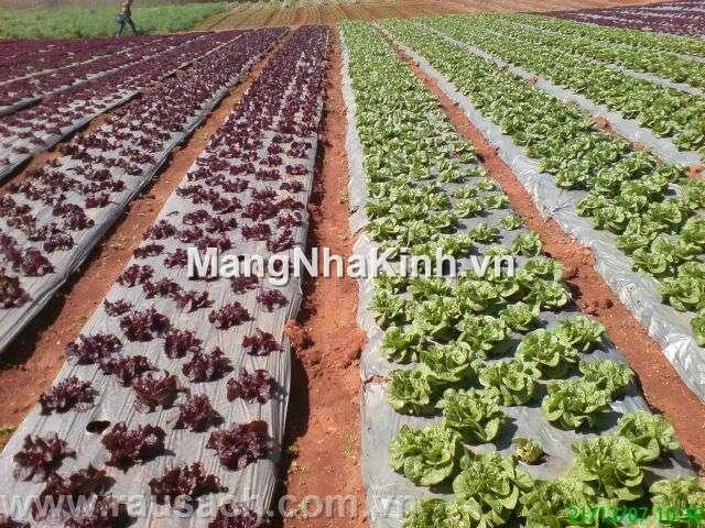 Màng phủ nông nghiệp (nilon đen phủ đất, ủ đất) loại 1